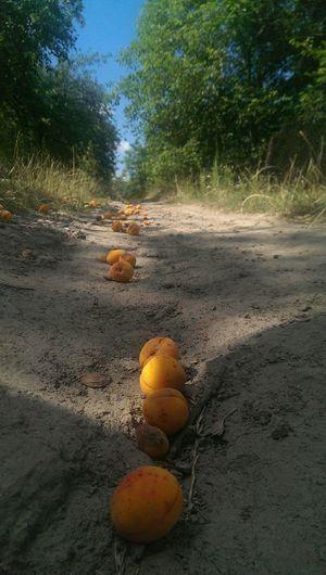 Apricots Fruits Nature Apricot Village Summer Ukraine