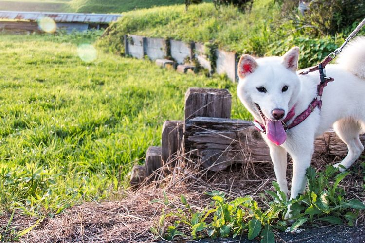 Siberian Husky On Field