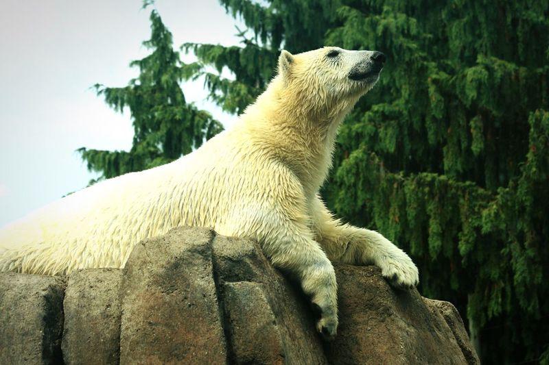 Polar Bear Resting On Rocks Against Trees