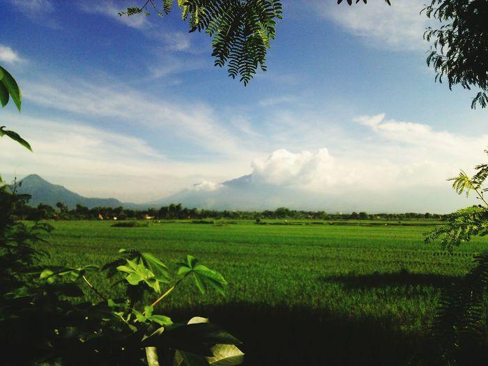Sawah Pegunungan Ricefield Mountain View Landscape_photography