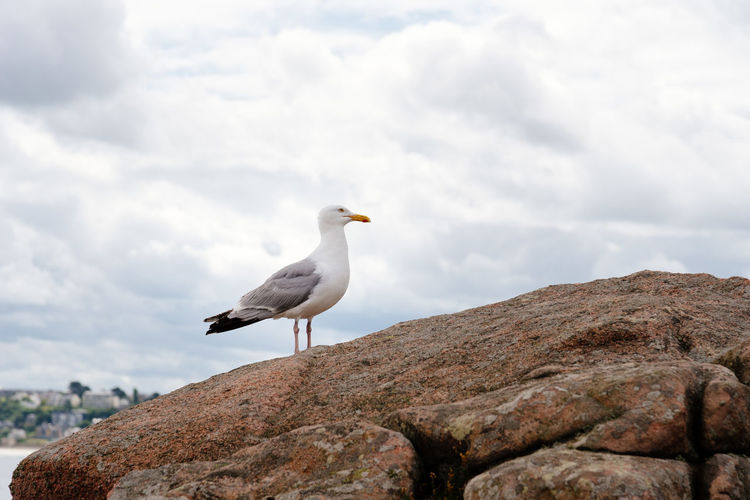 Seagull on rocks at coastline Nature Day Outdoors Brittany France Bird Animal Themes Vertebrate Animals In The Wild Animal Wildlife Animal Perching One Animal Rock Rock - Object Solid Seagull No People Côtes D'Armor Seabird Rocks Cliff Coast Coastline Sky Cloud - Sky Focus On Foreground Mountain