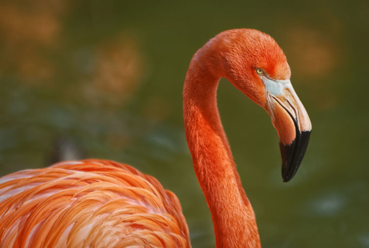 Flamingo portrait showing beak head neck and part of body with blurred background Isolated Animal Themes Animals In The Wild Beak Beauty Beauty In Nature Bird Close-up Flamingo Focus On Foreground Headshot Nature No People One Animal Orange Color Outdoors Portrait EyeEmNewHere