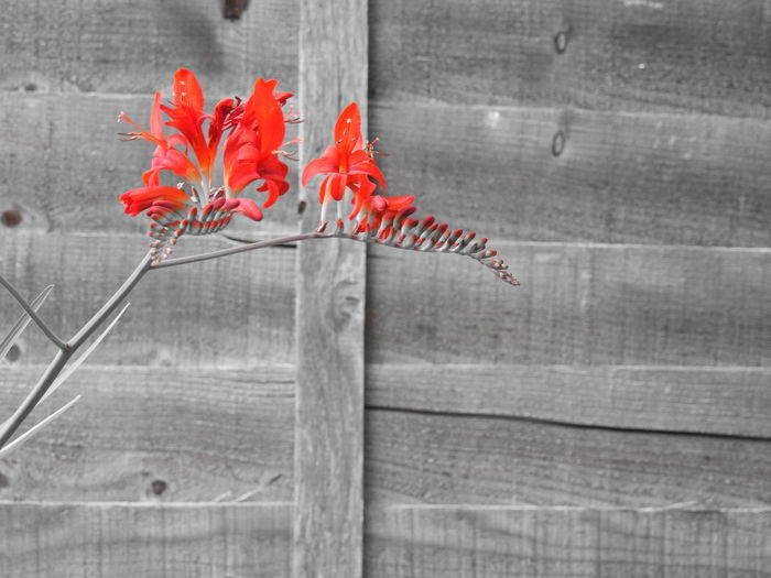 Beauty In Nature Black And White With A Splash Of Colour Close-up Crocosmia Day Flower Flowers Nature No People Red Selective Color Selective Focus