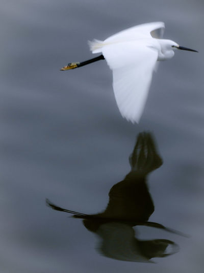 I Wish To Be As Free As The Birds 😉🙌😊 Bird Flying Spread Wings Water Animal Themes Close-up Egret