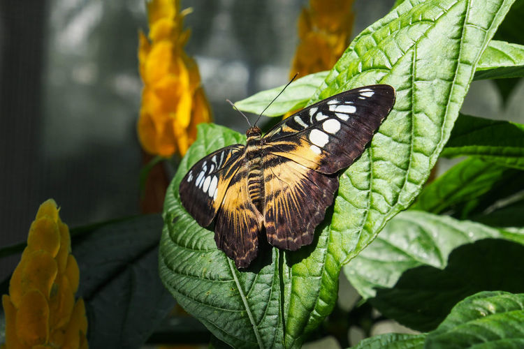 Butterfly Leaf One Animal Animal Themes Insect Animals In The Wild Wildlife Close-up Plant Butterfly Focus On Foreground Butterfly - Insect Yellow Zoology Growth Green Color Beauty In Nature Nature Day Green Fragility Pics Of Nature Nature Landscape Animal