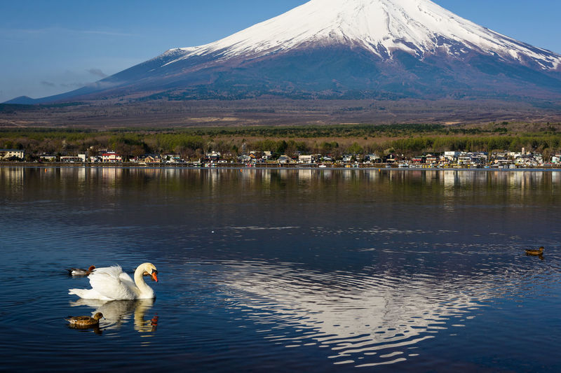 White swan and ducks swim at Yamanaka lake with mount Fuji peak reflection on water in morning with clear blue sky, Yamanashi, Japan. Mountain Animal Themes Water Animal Lake Reflection Vertebrate Mammal Waterfront No People Group Of Animals Beauty In Nature Nature Domestic Animals Sky Domestic Pets Outdoors Snowcapped Mountain EyeEm Best Shots EyeEm Nature Lover EyeEm Selects Swan Fuji Yamanaka Lake