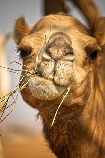 Close-up of camel feeding hays