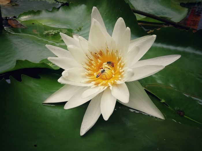 Close-up of white lotus water lily in lake