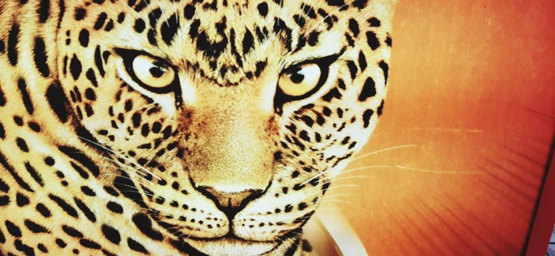 Leopard Portrait Looking At Camera Cheetah Feline Animal Markings Spotted Backgrounds Close-up