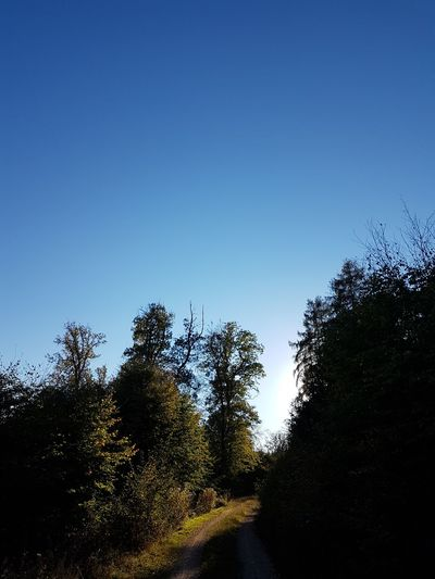 Tree Plant Sky Tranquility Clear Sky Beauty In Nature Tranquil Scene Growth Nature No People Copy Space Blue Day Scenics - Nature Land Non-urban Scene Outdoors Sunlight Low Angle View Forest
