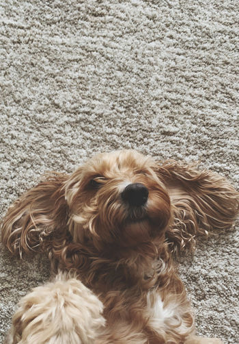 High angle view of dog relaxing on rug