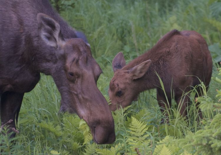 Animal Mammal Two Animals Animal Wildlife Animals In The Wild Young Animal Herbivorous Moose Moose And Calf Moose Calf Alaska Alaskan Nature Homer, Alaska Moose Grazing Animal Family Outdoors Nature Animal Themes Alaska Moose Wild Moose Moose Calf Animal Babies Animal Baby Spring Springtime