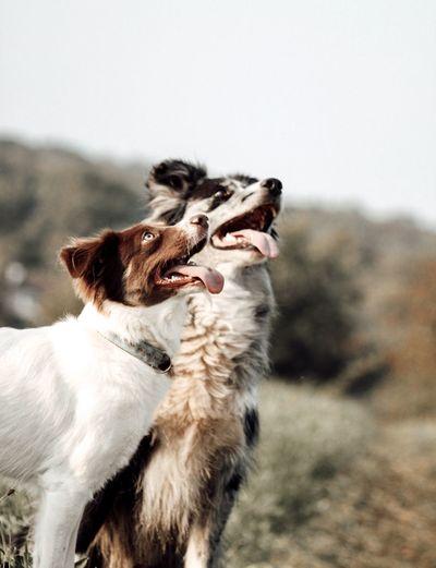 Portrait of 2 dogs on field