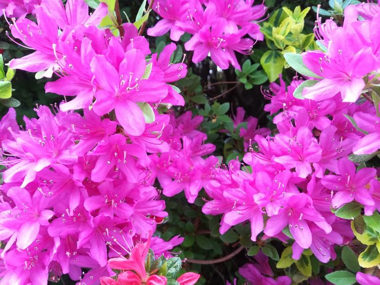 Azalea Flowering Plant Flowers,Plants & Garden Flowers, Nature And Beauty Pink Flower Flowers Azaleas Azalea Pink Flower Collection Flower Flower Head Backgrounds Close-up In Bloom Pistil Blooming Flower Tree Botany Plant Life