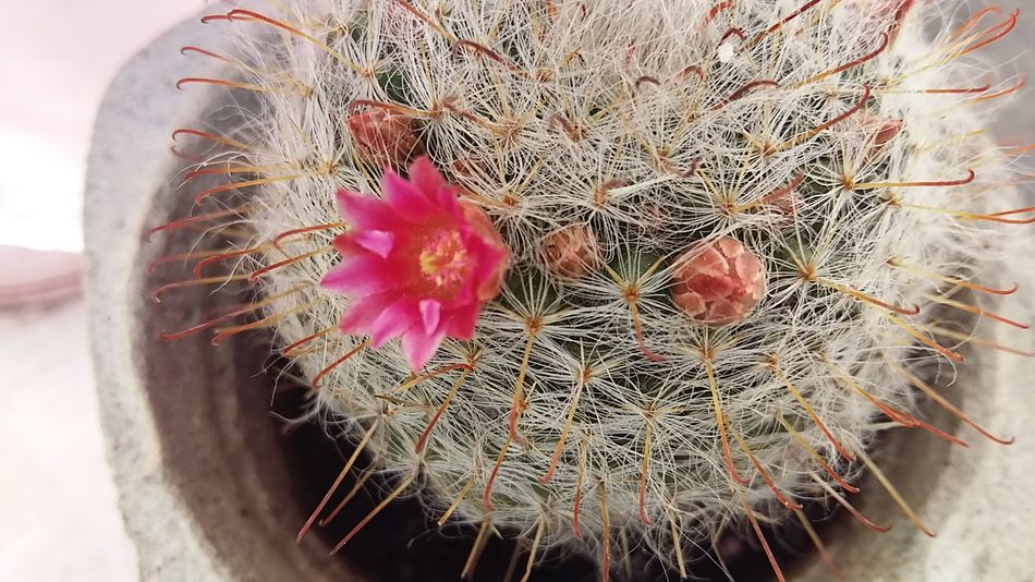 Welcomespring Flower Cactus Flower Primavera2016 Cactus EyeEm Nature Lover EyeEm Gallery Pink Color Single Flower Growth