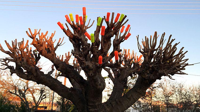 Christmas Fig Tree