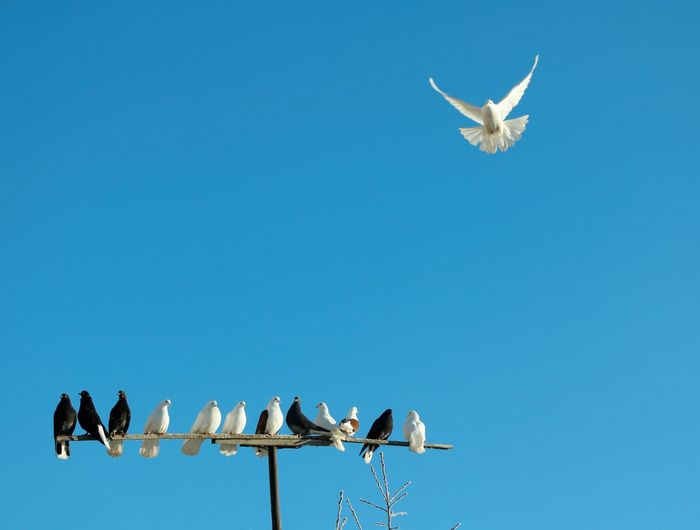 Low angle view of doves flying against clear blue sky