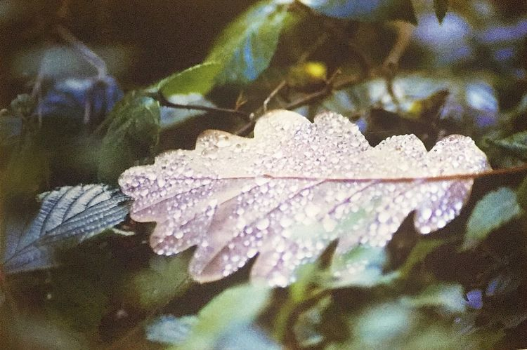 Leaf Close-up Day Nature Focus On Foreground No People Fragility Outdoors Beauty In Nature Freshness Waterdrops 35mmfilmphotography Kodak Ultramax 400 NikonF100 Film Photography Filmisnotdead Keepfilmalive 35mm Film Tranquil Scene Autumn Colors Oak Leaves Autumn Leaves EyeEmNewHere