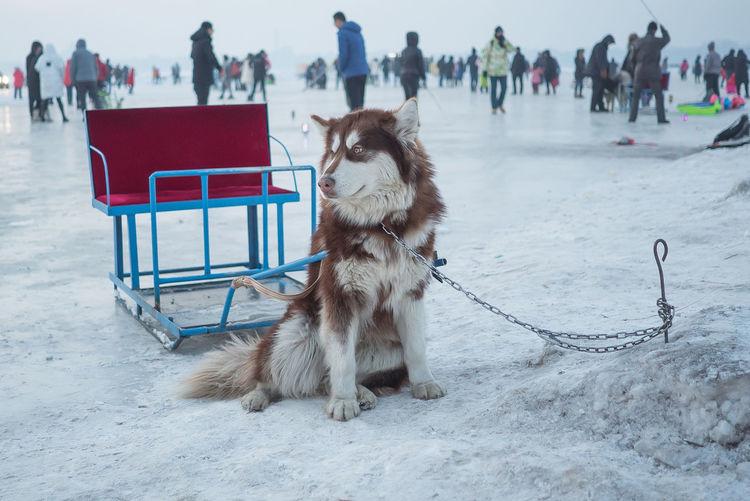 Portrait Of Sled Dog
