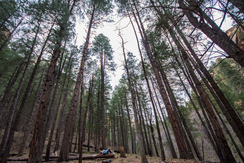 Pondering Ponderosa Pines Arizona Beauty In Nature Day Forest Nature Non-urban Scene Outdoors Pinetrees Solitude Tranquil Scene Tranquility Travel Destinations Tree Tree Trunk Wide Angle WoodLand Woods The Great Outdoors - 2016 EyeEm Awards