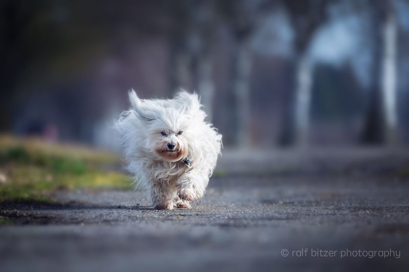 Dog Pets Domestic Animals Animal Themes One Animal Mammal Looking At Camera West Highland White Terrier No People Full Length Day Portrait Outdoors Nature