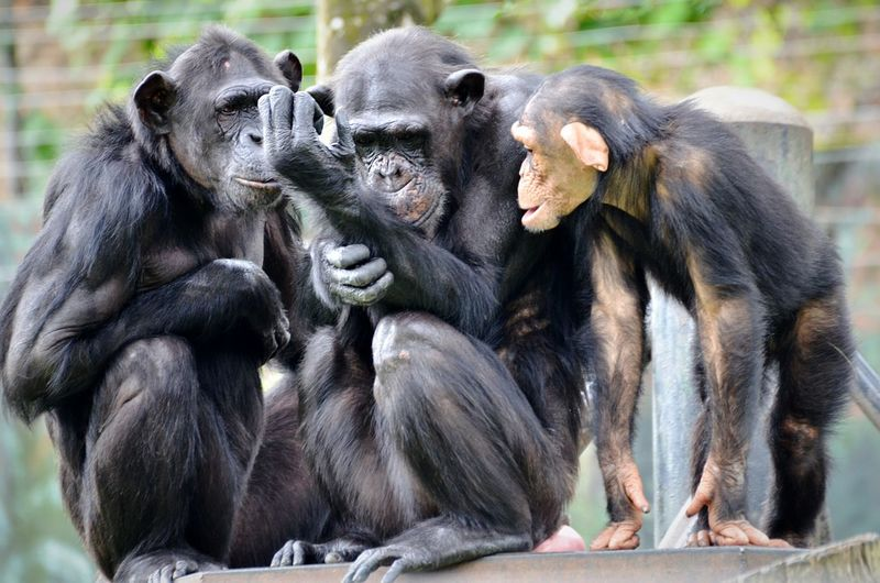 Chimpanzees On Wood At Zoo