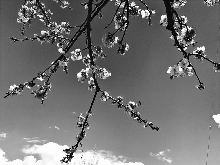 Low Angle View Tree Blackandwhite Cloud - Sky Iphonephotography Mobilephotography Iphoneonly Flower Nature Day Growth Beauty In Nature No People Outdoors Twig Sky Sunlight Fragility Freshness Flower Head Shushannaagapiphoto Shushannaagapi Apple Blossom Tree EyeEmNewHere