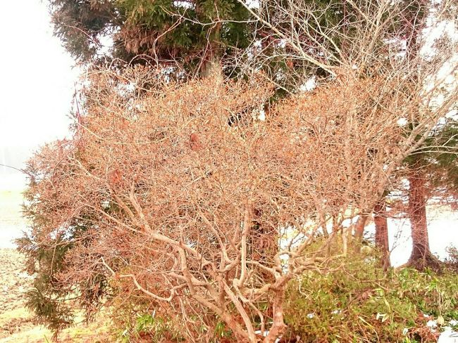 Tree of winter azalea… Winter Azalea Branching Tree
