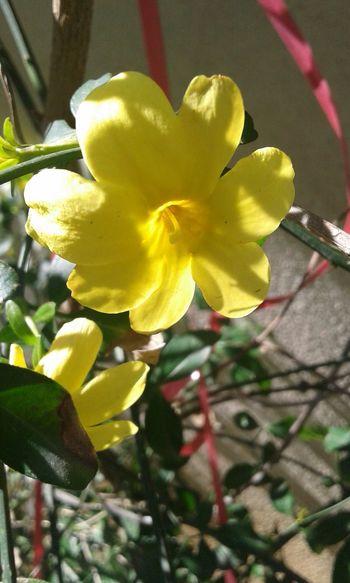 Flower Yellow MIS Kokulu