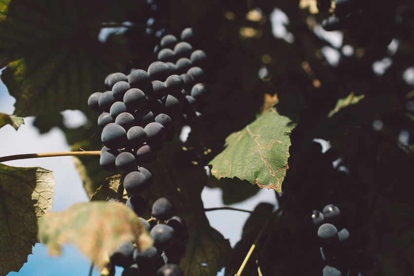 Vine Vineyard Grapes Harvest Harvest Time Autumn Leaf Plant Part Plant Growth Healthy Eating Food And Drink Food Fruit Grape Close-up Nature Freshness No People Agriculture Day Wellbeing Winemaking Beauty In Nature Crop  Outdoors Ripe Plantation