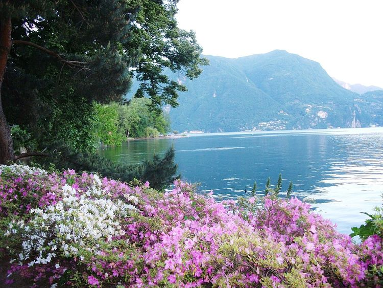 Lakeside Flower Beauty In Nature Tranquility Nature Lake Water Pink Color Tranquil Scene Flowers Lugano, Switzerland.