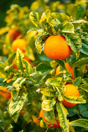 Italy Sicily Food Food And Drink Freshness Healthy Eating Growth Plant Fruit Orange Color Leaf Plant Part Wellbeing Nature No People Close-up Day Focus On Foreground Agriculture Citrus Fruit Outdoors Beauty In Nature Organic Orange Ripe