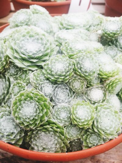 Close-up No People Day Succulents Full Pots Hairy  Hairy Plant Hairy Leaves Hairy Succulent