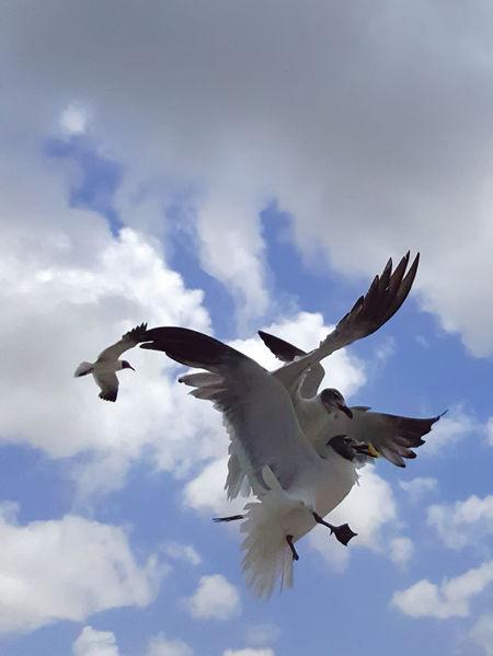 Showcase July Seagull Seagulls SEAGULL IN FLIGHT