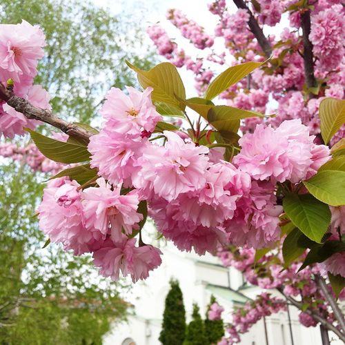 Belgrade Ig_bgd Ig_belgrade Spring Flowers Pink Trees