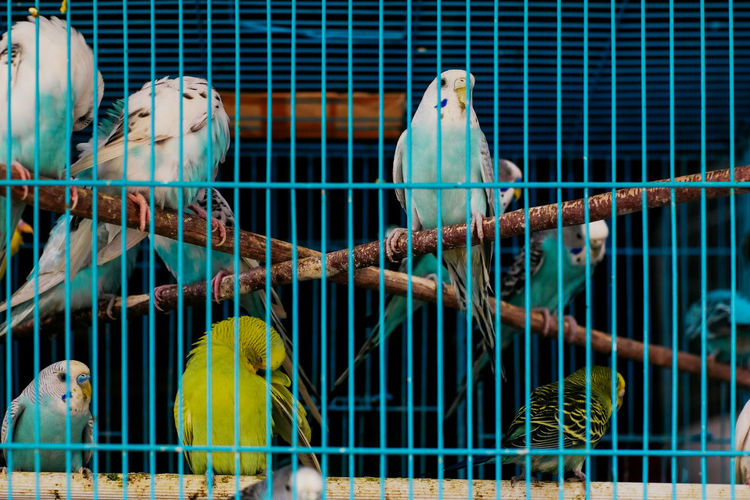 Cage Animal Animal Themes Animals In Captivity Vertebrate Bird Group Of Animals Birdcage Parrot Animal Wildlife Trapped No People Metal Parakeet Yellow Close-up Day Budgerigar Medium Group Of Animals Bird Market Jakarta Bird Market Traditional Marketplace Traditonal Market Illegal Activity Bird Hunting  Catching Birds Hobbies Hobby Bird Lover