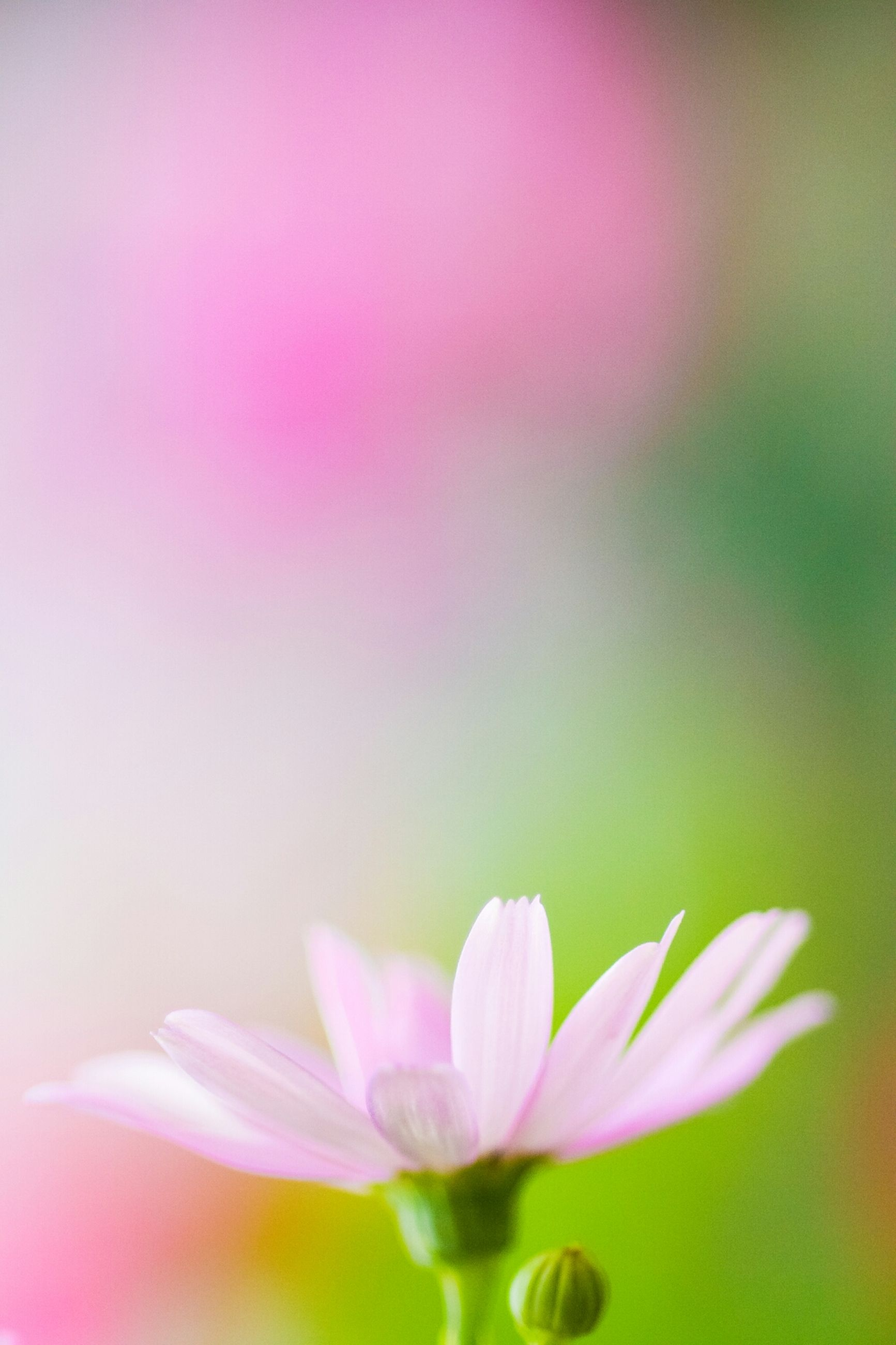 flower, petal, freshness, fragility, flower head, beauty in nature, growth, nature, blooming, close-up, plant, pink color, focus on foreground, selective focus, single flower, in bloom, stem, outdoors, no people, day