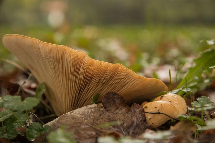 Close-up of mushroom growing on land
