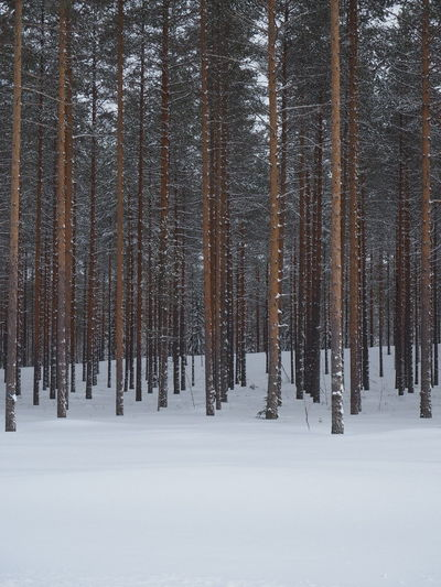 Nature Tree Area Tree Snow Cold Temperature Winter Forest Polar Climate Pine Tree Pinaceae Frozen Snowcapped Mountain Pine Woodland Evergreen Tree Deep Snow Powder Snow Snowing Tree Trunk Snowflake Countryside
