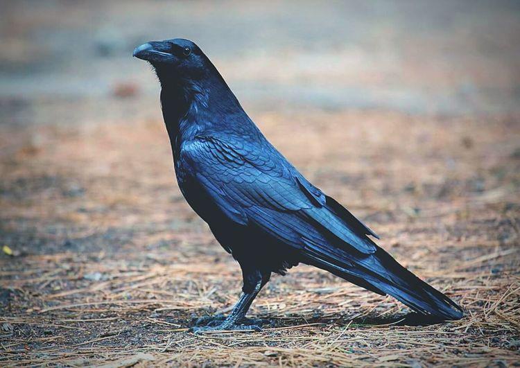 Raven Perching On Field