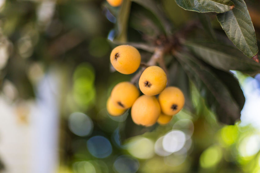 Loquats Backyard Bokeh Bokeh Photography Bokehlicious Close-up Dark Green Dark Green Leaves Day Fruit Hanging Hanging High Low Angle View Nature Neighborhood No People Orange Orange Color Organic Outdoors Shade Shaded Shallow Depth Of Field Tree Twigs Yellow
