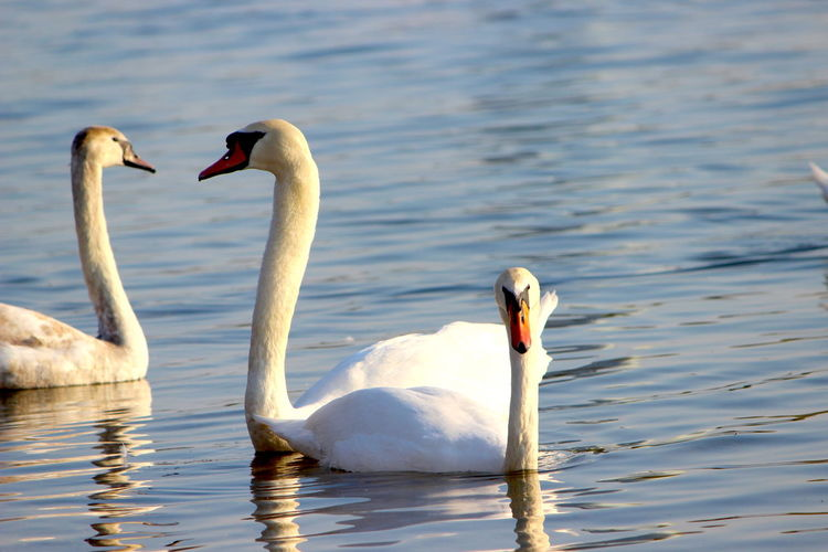 Animals In The Wild Water Bird Animal Themes Animal Wildlife Vertebrate Animal Lake Swan Swimming Group Of Animals Two Animals Water Bird No People Day Nature Waterfront White Color Focus On Foreground Floating On Water Animal Neck Animal Family Cygnet