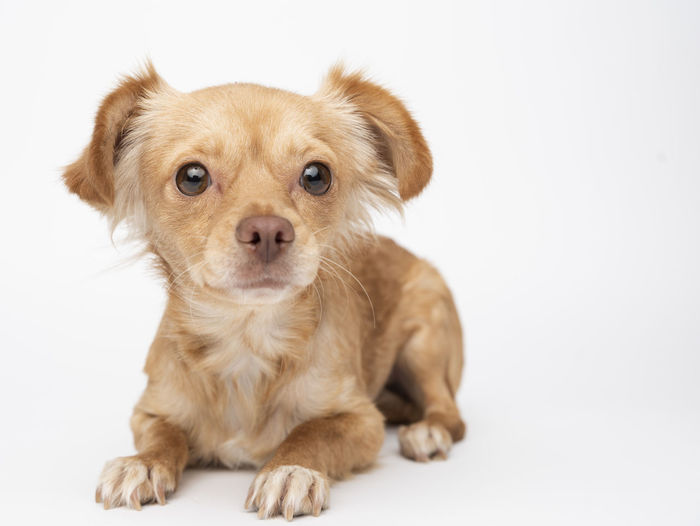 Animal Animal Themes Canine Chihuahua - Dog Cute Dog Domestic Domestic Animals Indoors  Innocence Looking At Camera Mammal No People One Animal Pets Portrait Puppy Purebred Dog Sitting Small Studio Shot White Background Young Animal