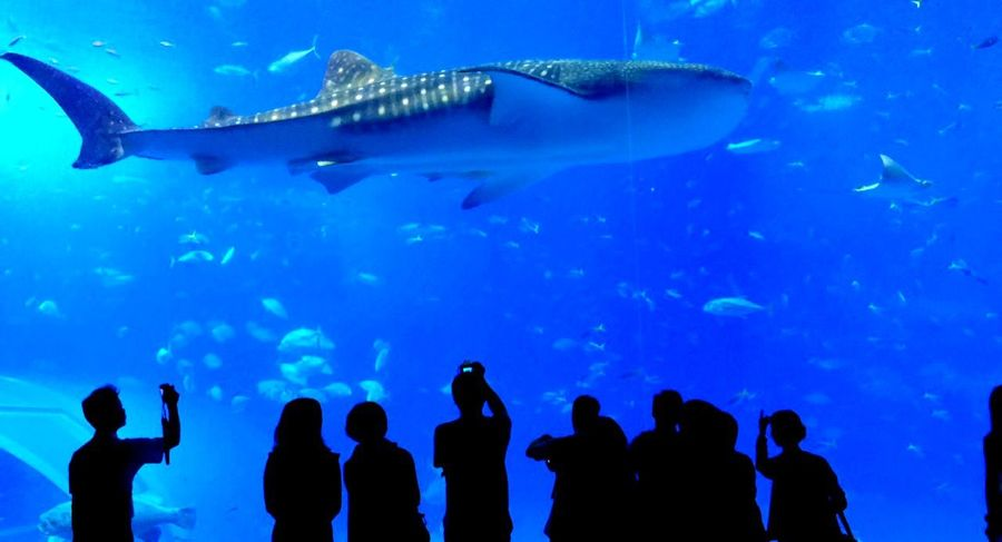 美ら海 Shark OKINAWA, JAPAN Travelphotography TravelCHINOmrk Traveling Aquarium Japan Okinawa 沖縄