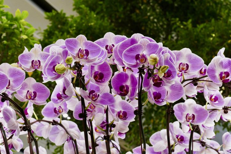 Flower Flowering Plant Plant Fragility Vulnerability  Growth Freshness Nature Inflorescence Beauty In Nature Petal Close-up Flower Head Day No People Purple Orchids Phalenopsis Group Of Orchids Outdoors