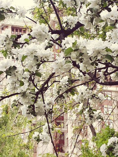 Tree Growth Branch Nature Vertical No People Beauty In Nature Close-up Outdoors Low Angle View Freshness Blossom Flower Day Sky Building And Tree Blooming Trees Spring Blossoms Appletree