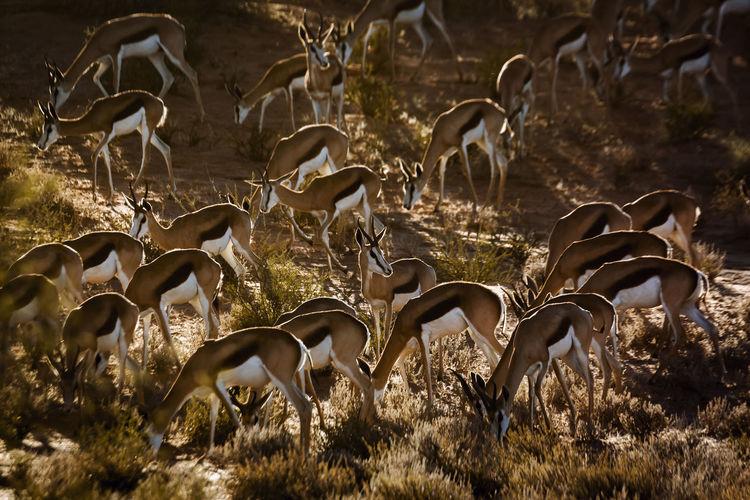 Herd of springbok grazing in backlit in kgalagari transfrontier park, south africa