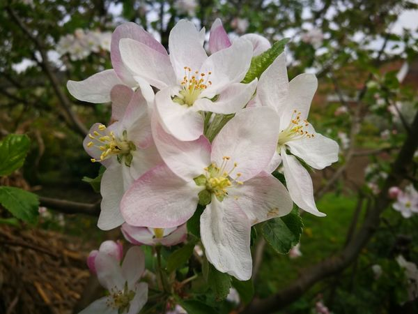 Flower Close-up Petal Fragility Blossom White Color Springtime Flower Head Nature No People Beauty In Nature Tree Plant Freshness Stamen Focus On Foreground Branch Day Pink Color Growth