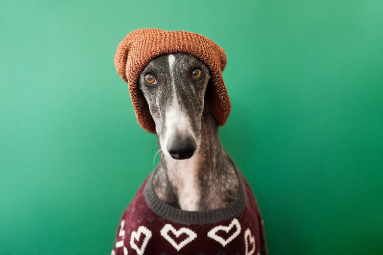 Acting Autumn Christmas Funny Galgo Hat Winter Animal Blue Background Canine Close-up Clothes Clothing Colored Background Cozy Dog Domestic Domestic Animals Galgoespañol Green Background Greyhound Hat Heart Indoors  Looking At Camera Mammal One Animal People Pets Portrait Portraiture Studio Shot Sweater Warm Whool