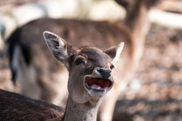 Deer is looking laughting out loud but is eating a huge apple
